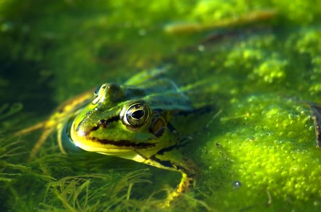 rana-nadando_1160-13