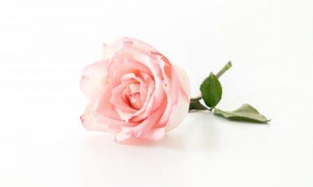 rosa-y-rosa-blanca_1339-1132