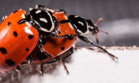 ladybugs-2206962_960_720
